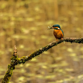 The King by Sean Kirkhouse - Animals Birds ( farm, bird, wales, fish, kingfisher, forest, cardiff,  )