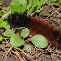 Isabella tiger moth (larva)