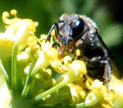 """Photo: Bonjour,  19°, nuageux.  Hyménoptère"""" Andrena minuta"""" sur fleur d'aneth. Remarquez sa langue qui aspire le nectar."""