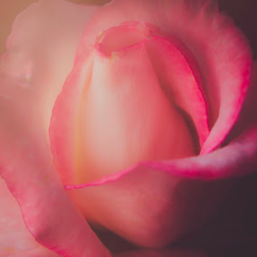 Purest form of love, Rose by Soumya Geetha - Nature Up Close Flowers - 2011-2013