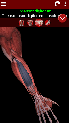 Muscular System 3D (anatomy) 2.0.8 screenshots 3