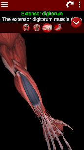 Muscular System 3D (anatomy) 3
