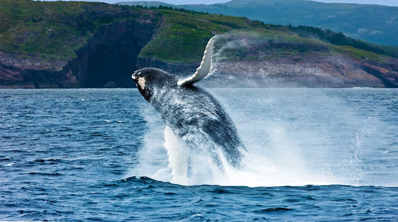 Great capture of a breaching whale off the coast of Newfoundland.