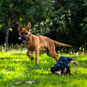 The Fall by Josiê Calera - Animals - Dogs Playing ( playing, nature, green, pet, dog )