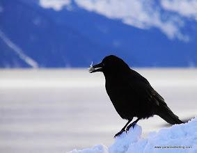 Photo: Northwestern Crow with fish bone, Seward harbor