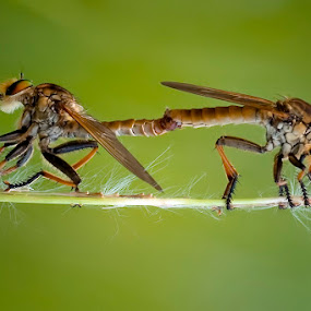 Mating by Yan Kebak - Animals Insects & Spiders