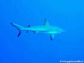 Photo: #009-Requin gris de récif à Columbus Isle.