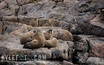 Photo: I was exploring outside of Monumental island just south of Baffin Island in the Arctic in hopes of catching a glimpse of polar bears. Keen eyes were searching everywhere as we drifted past the rocky shores when a powerful smell offended my olfactory senses. To my surprise one of the rocks we had previously searched began to move, turned it's head to reveal bright white tusks! We were amongst the walrus this whole time.  It just happened to be they were perfectly matched to disappear into these rocks. these pinnipeds seemed quite relaxed, which is unusual for an animal that is still hunted in the Canadian arctic. I have had many other opportunities to get some close up shots of these guys, but what I really wanted to do was to express how well these guys disappear into the rock.  When I do this usually I don't want to centre my subject, instead I want the animals to be a third of the way across the image, this is all according to the rule of thirds. This way I can include more background to create more of an environmental portrait.