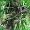 Momoto piquiancho / Broadbilled motmot