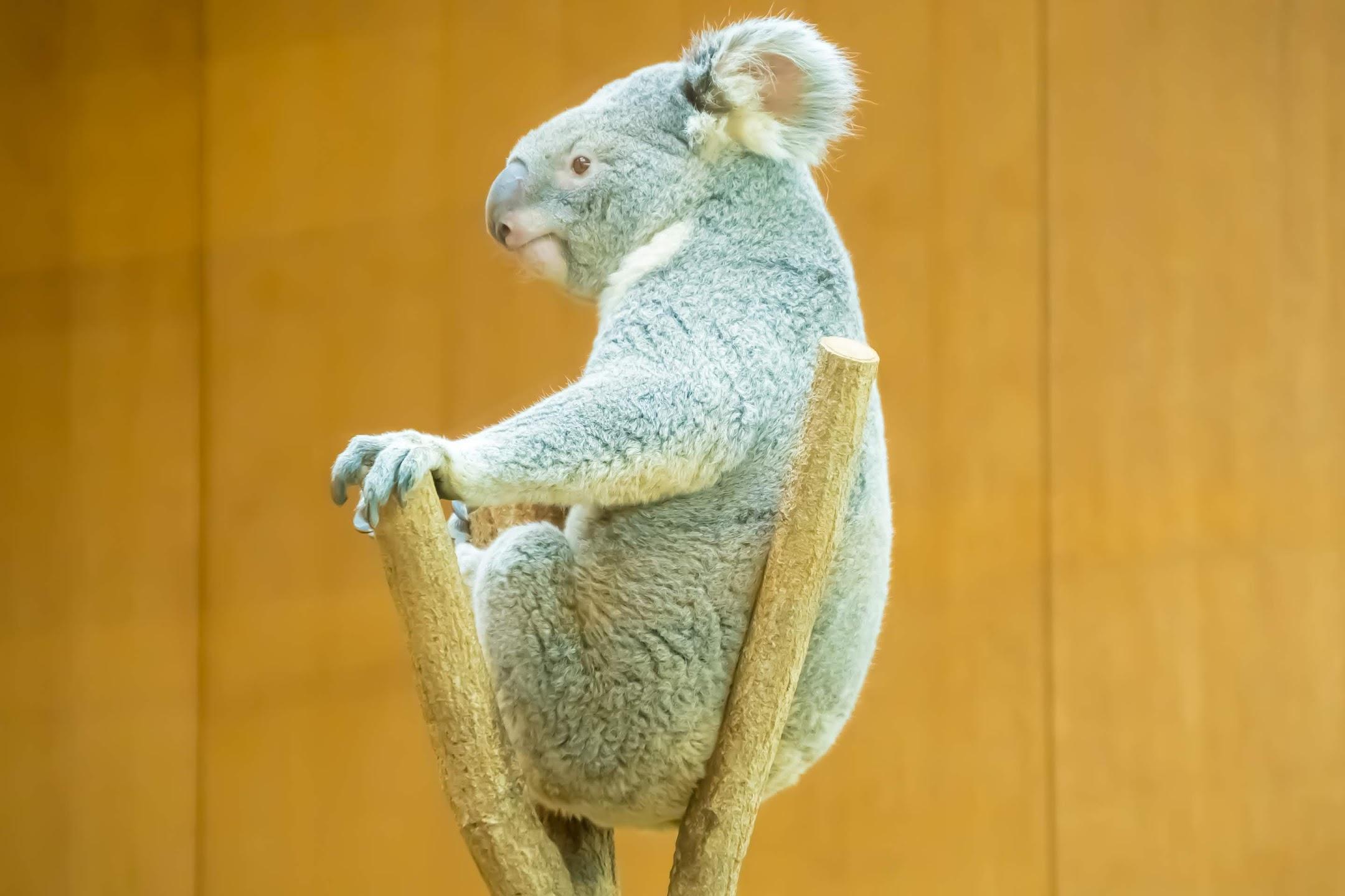 Kobe Oji Zoo koala1