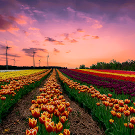 just tulips by Gigi Kent - Flowers Flower Gardens