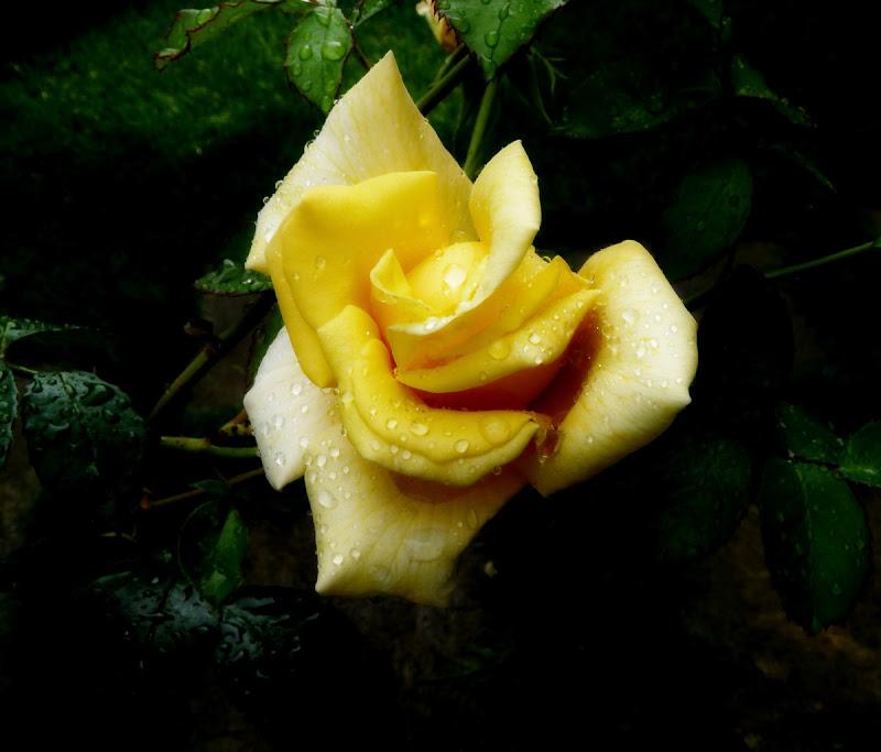 rosa di Carmelo Baglivo