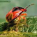 Big-eyed bug
