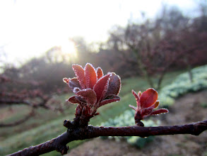 Photo: Little dewdrops on new spring buds at Wegerzyn Gardens MetroPark in Dayton, Ohio.