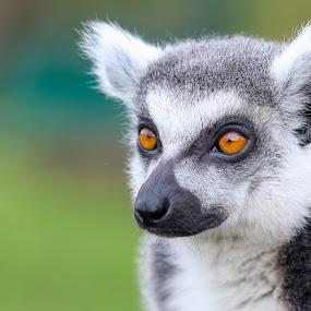 Ring-Tailed Lemur by Amanda Blom - Animals Other ( canon, orange, zoo, lemur, eyes, animal,  )
