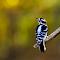 Autumn Downy Woodpecker.jpg