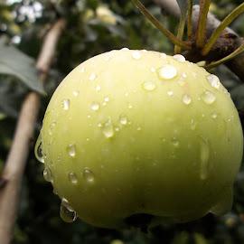Ябълка by Georgi Kolev - Food & Drink Fruits & Vegetables ( клони., ябълка., дърво., капки., листа. )