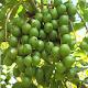 KALRO Macadamia Nut APK