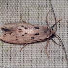 Mimosa Webworm Moth