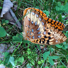 Butterfly, Great Spangled Fratillary?