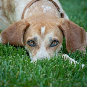 Chibi the Huntress by Lorella Johnson - Animals - Dogs Portraits ( grass, hunt, dog )