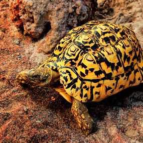 Turtle by Awais Javed - Animals Other ( others, turtle, animal )