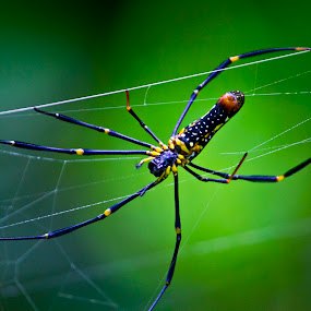 Spider Working to Build Its Web by Vivek Chethan Muliya - Animals Insects & Spiders ( animals, spiders, spiderweb, workinghard, insects, tocatchitsfood,  )