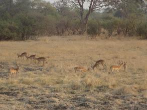 Photo: Herd of impala