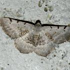 Neognopharmia stevenaria (Fidonie à trois taches)