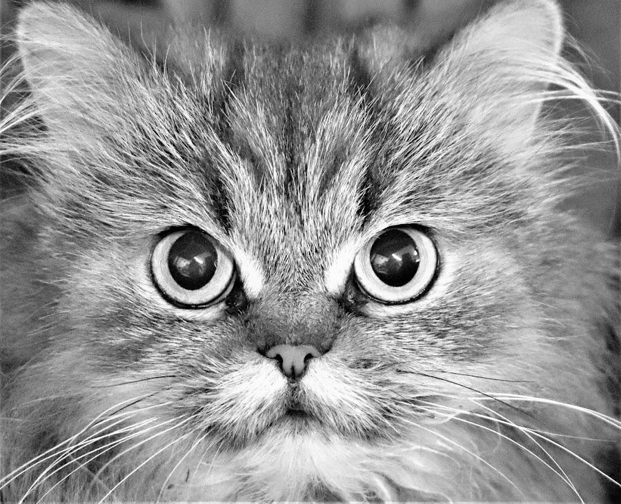 Miss Molly  by Linda    L Tatler - Black & White Animals ( feline, cat, female, longhair, pet, persian,  )