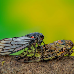 Two Cicadas by Raden Bagus Paijo - Animals Insects & Spiders ( macro, macro photography, insect, animal )