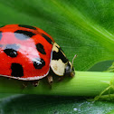 Chinese Lady Bug