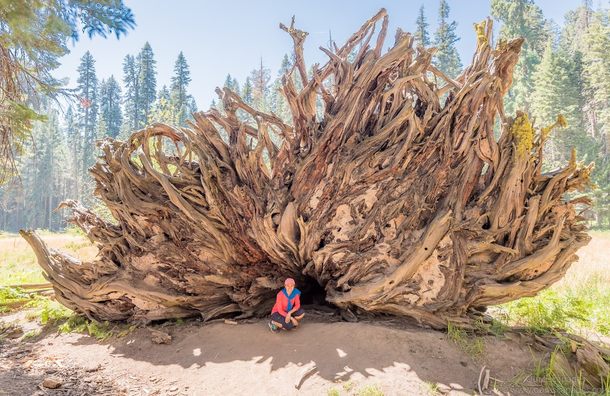 In front of a fallen sequoia tree