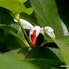 Night-flowering Jasmine,  Parijat