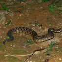 Cascavel - Rattlesnake