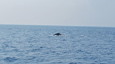 Photo: Baleine bleue - (c) wsylvie 2015