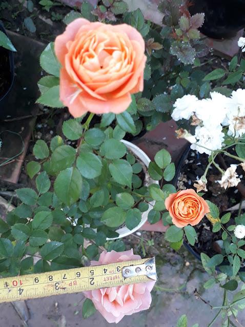 Hồng Tezza màu cam có kích thước hoa nhỏ hơn, 5cm, không biết do 2 chậu hồng Tezza được trồng và chăm sóc ở 2 nơi khác nhau nên đường kính bông to nhỏ khác nhau hay tại đặc tính cây?