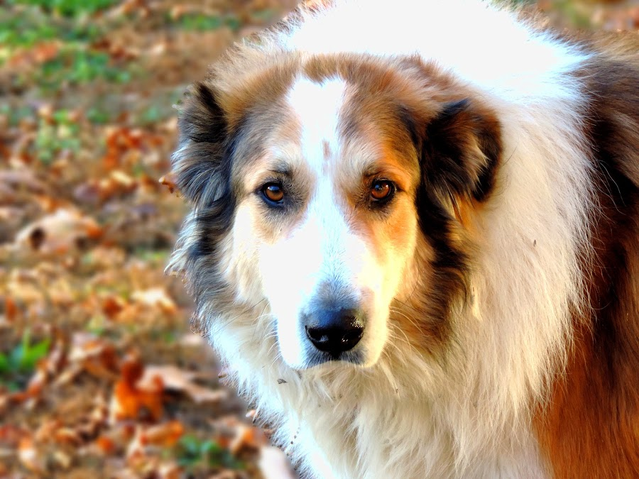 Woodrow  by Amber Birke - Animals - Dogs Portraits ( mammals, cats, animals, dogs, rabbits, pet, fall, pets, dog, cows, livestock )