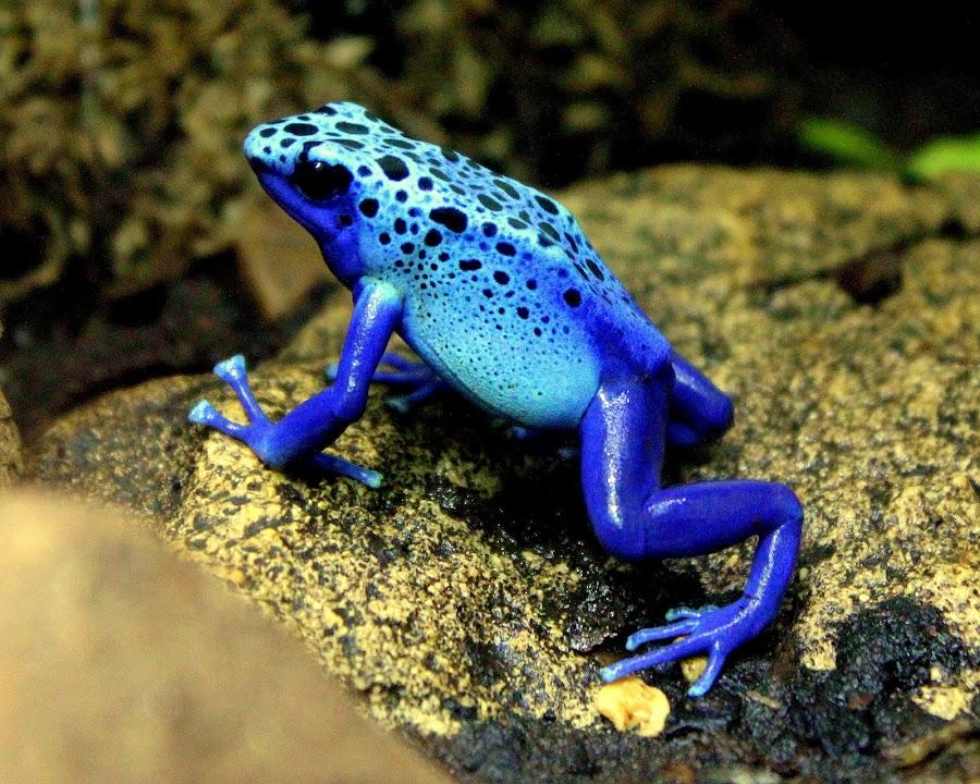 Blue Frog by Ralph Harvey - Animals Amphibians ( animals, blue, wildlife, frogs, amphibians )