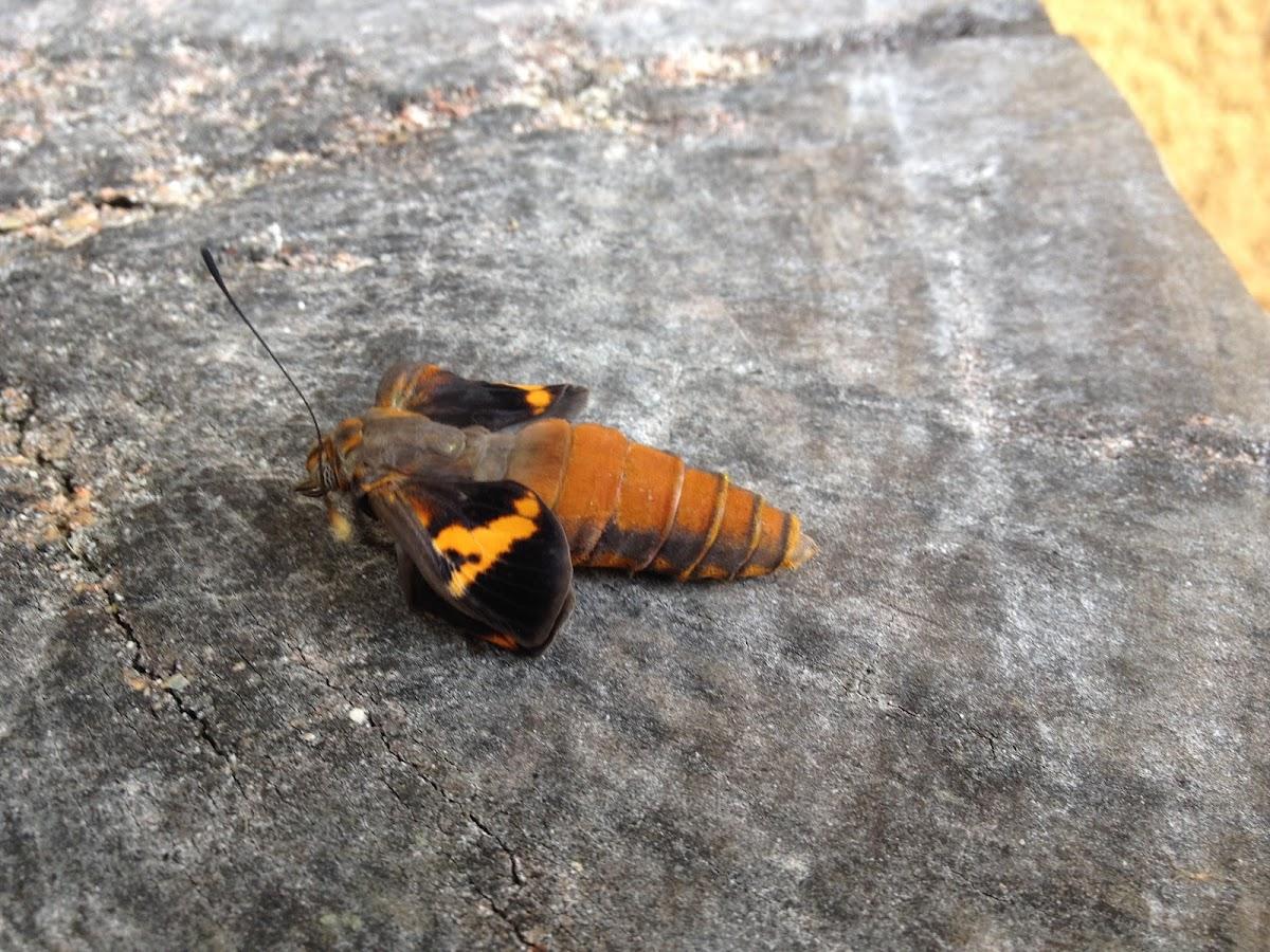 Brassolis butterfly