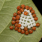 Stink bug nymphs and eggs