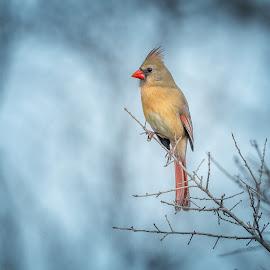 Cardinal  by Kelley Hurwitz Ahr - Animals Birds ( ranch, kelley hurwitz ahr, family pictures )