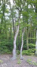 Photo: Zawsze zwracamy uwagę na cuda przyrody. Tym razem naszą uwagę przyciągnęło drzewo z pofalowanym pniem.