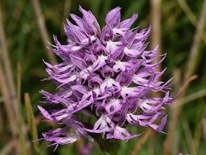 Photo: Orchis italica