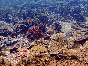 Photo: Chromis viridis (Green Chromis), Small Lagoon, Miniloc Island, Palawan, Philippines.