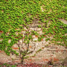 strong roots by Sinisa Predavac - Nature Up Close Trees & Bushes ( tree small green bricks wall detail concept )