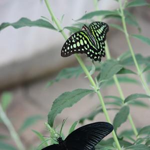 Two Butterflies 2.JPG