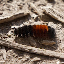 Banded Woolly Bear Caterpillar (Isabella Tiger Moth)