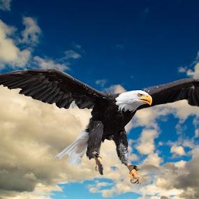 Bald Eagle in Flight by Eva Lechner - Animals Birds ( bird, flight, flying, bald eagle, close-up )