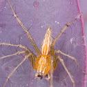 Striped lynx spider (orange faced)